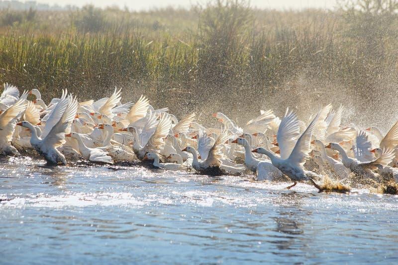 Ogromny stado biega białe gąski chociaż jezioro z obfitością woda kropi zdjęcia royalty free