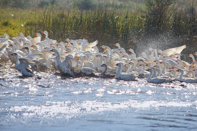 Ogromny stado biega białe gąski chociaż jezioro z obfitością woda kropi obraz royalty free