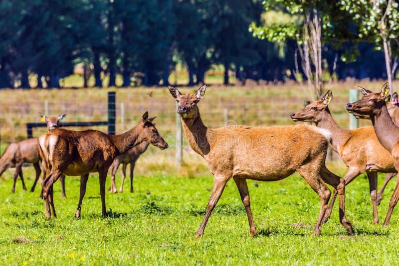 Ogromny stado jeleni pasanie na gazonie fotografia royalty free