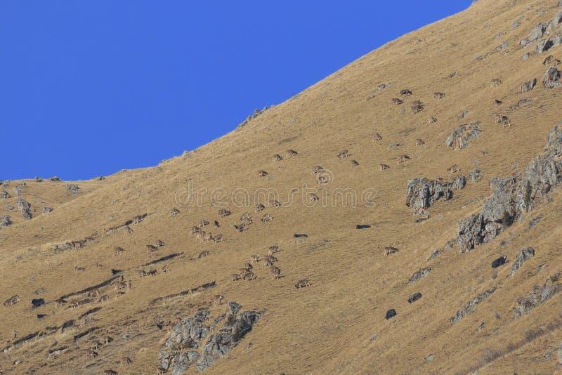 Ogromny stado Lipped Deers Przewalskium albirostris Thorold rogacz w górzystym Tybetańskim terenie lub, Chiny zdjęcie royalty free