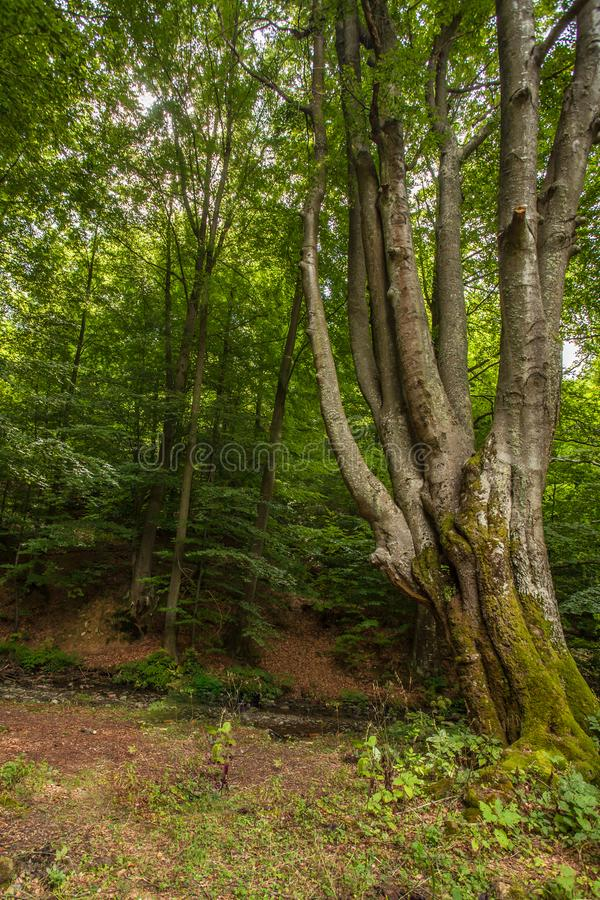 Ogromny stary bukowy drzewo w rezerwata przyrody tropikalnym lesie deszczowym Vinatovaca w S zdjęcie stock