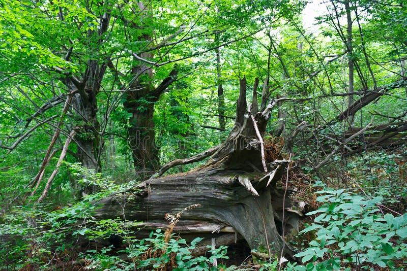 Ogromny wykorzeniający stary drzewo w zwartym lesie zdjęcia royalty free