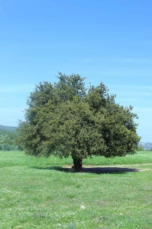 Ogromny zielony drzewo w naturze obraz stock