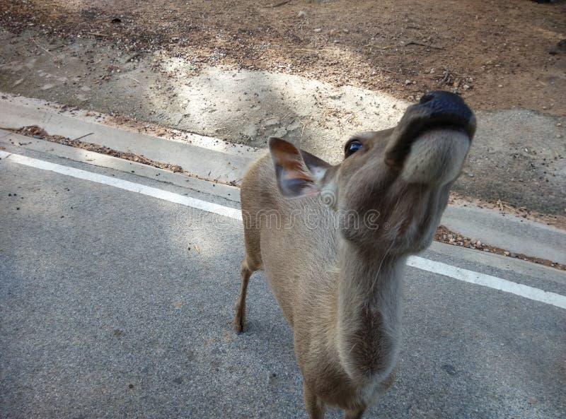 oh (ciervos) fotografía de archivo