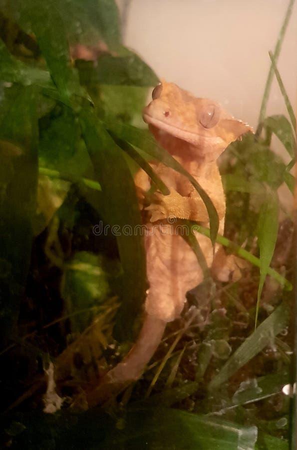 oh he Gecko stockbilder