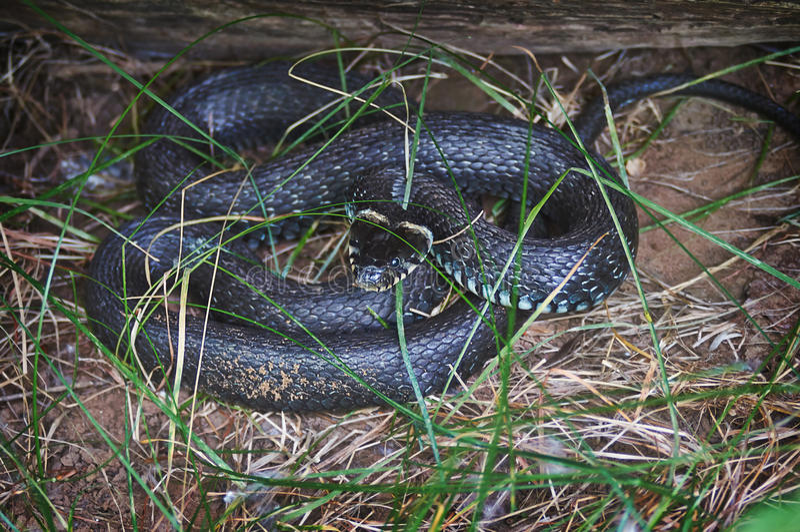 Oh - niet-giftige slang royalty-vrije stock foto