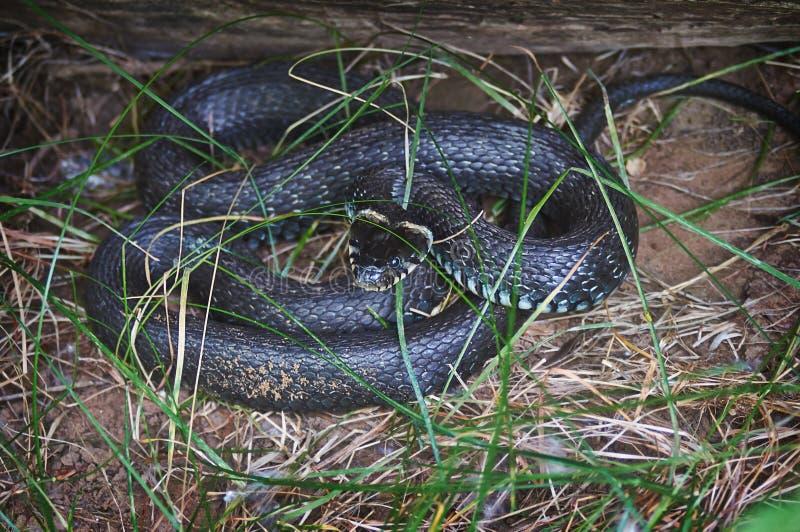 OH - nonpoisonous φίδι στοκ φωτογραφία με δικαίωμα ελεύθερης χρήσης