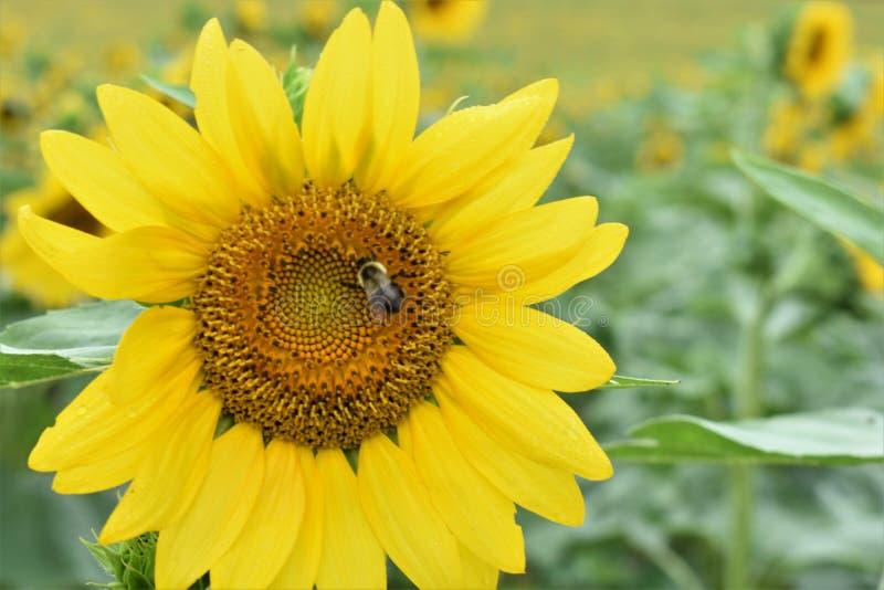 Oh pszczoła obraz stock
