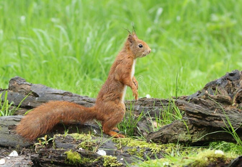 Oh vem um que você pode o ` t ser este esquilo vermelho pequeno bonito fotografia de stock