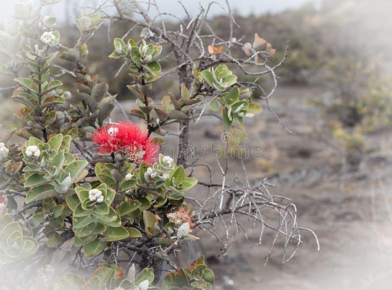 Ohia Lehua Bloom auf Lava stockfotos