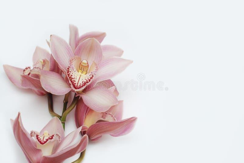 Ohid rose Fower Iolated sur Wite Bckground avec l'espace des textes Image horizontale photos stock