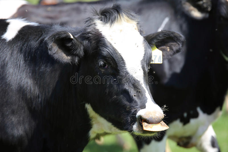 Ohio dairy cows. All dairy cows and dairy cows are different, but one thing is always true – cows are habitual animals and thrive on routines, so dairy stock images