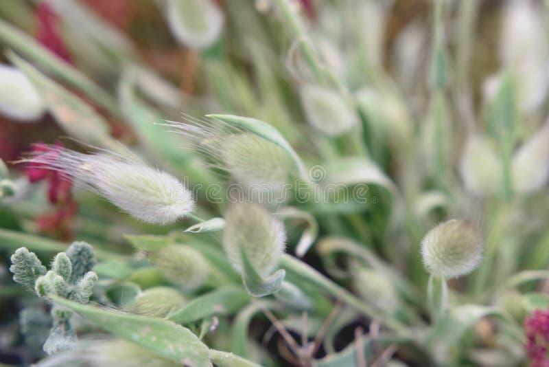 Ohr des Kornes stockfoto