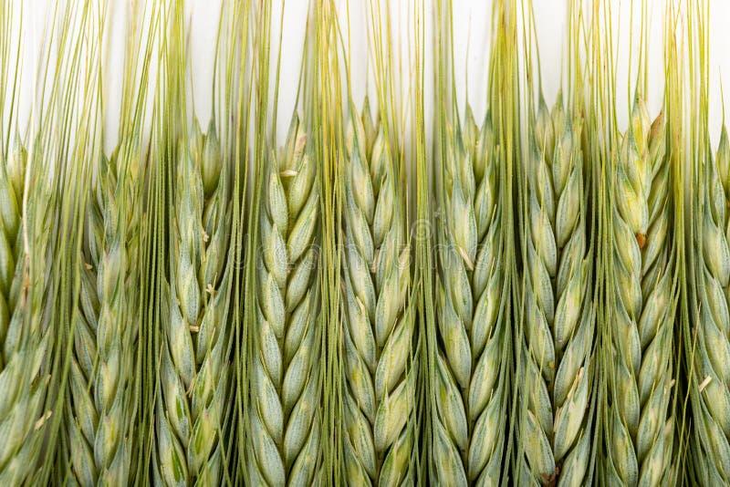 Ohr des Kornes auf einer weißen Tabelle Unreife Samen und Ohren des Kornes vor Ernte lizenzfreie stockfotos