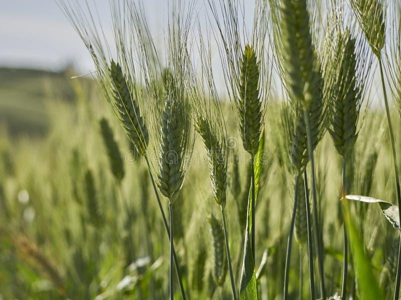 Ohr des Weizens stockfotos
