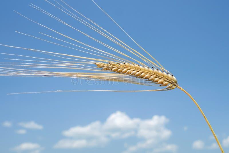 Ohr von Weizen 3 stockbilder