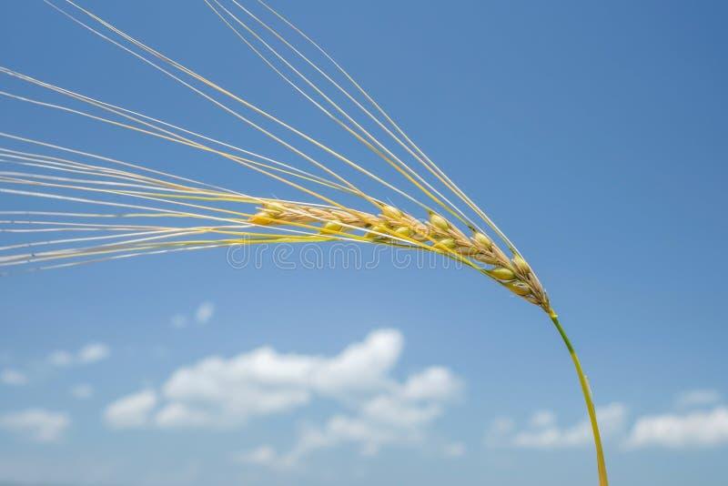 Ohr von Weizen 1 lizenzfreies stockfoto