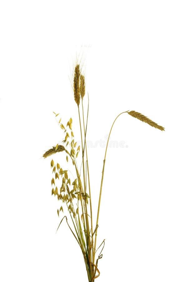Ohren der Getreide lizenzfreies stockbild
