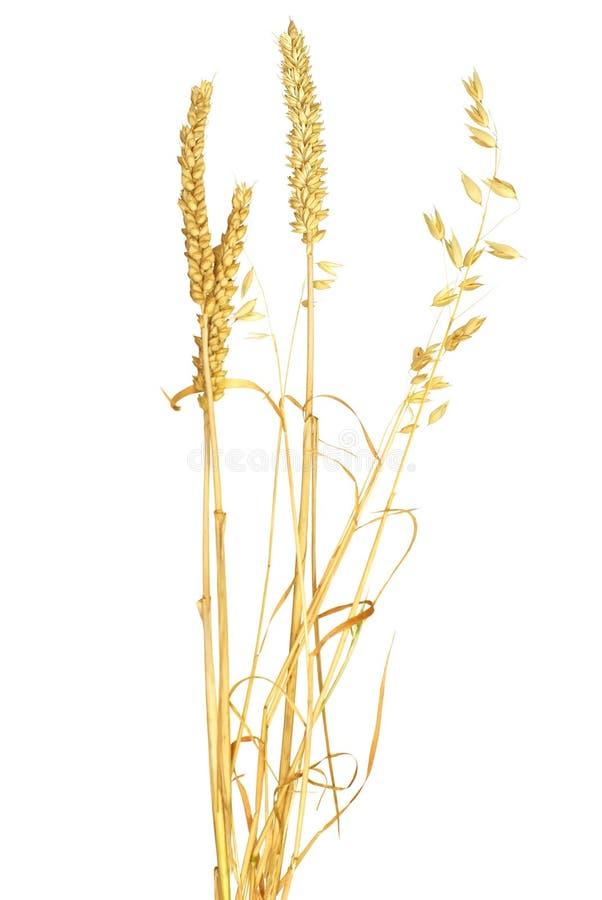 Ohren des Getreides stockbild