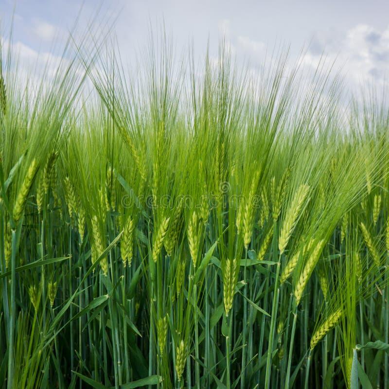 Ohren des jungen grünen Weizens lizenzfreie stockfotos