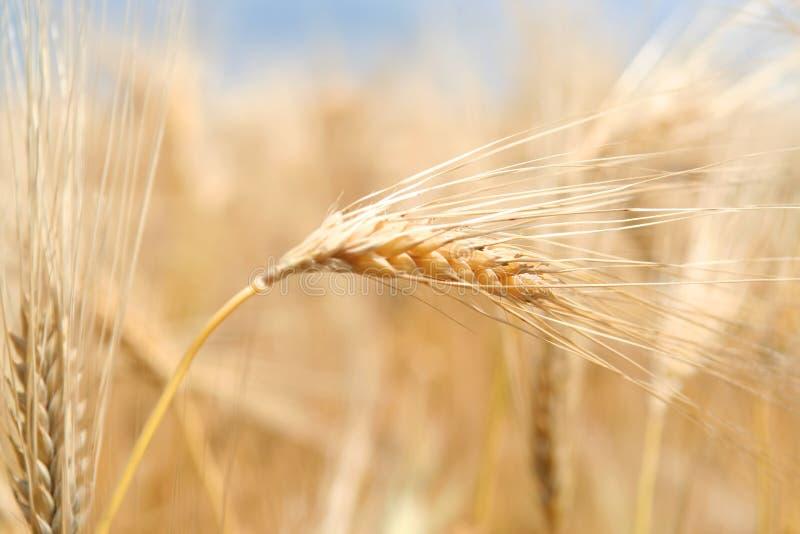 Ohren des reifen Weizens lizenzfreie stockfotos
