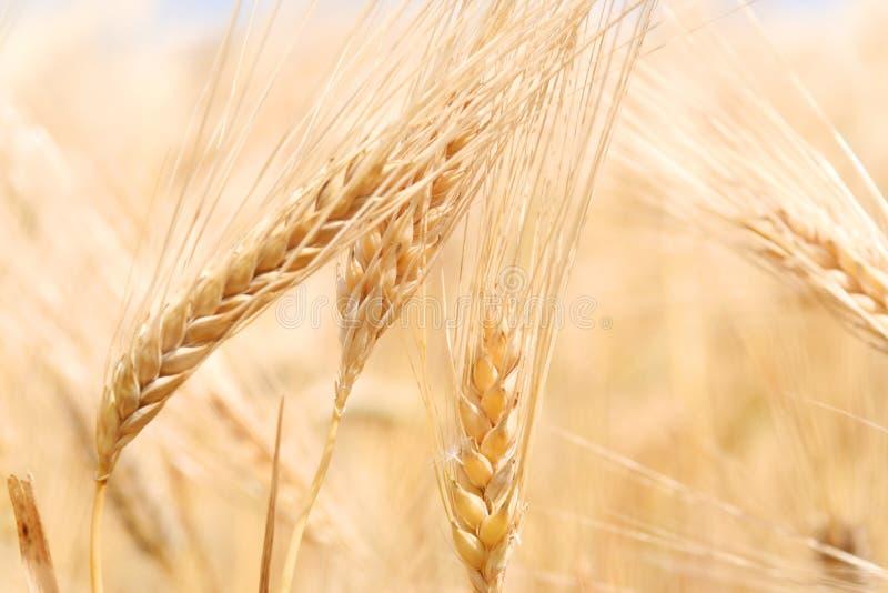 Ohren des reifen Weizens stockbilder