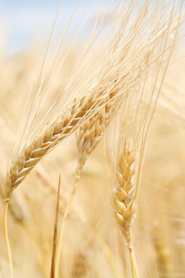 Ohren des reifen Weizens stockfoto