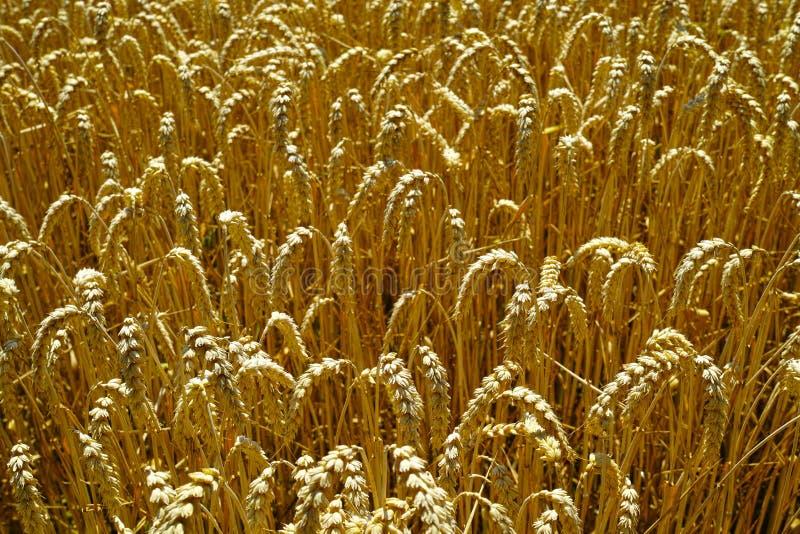 Ohren des reifen Weizens im Sonnenlicht lizenzfreie stockbilder