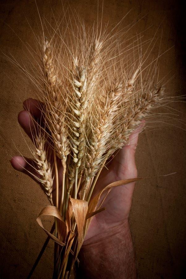 Ohren des Weizens stockfotos