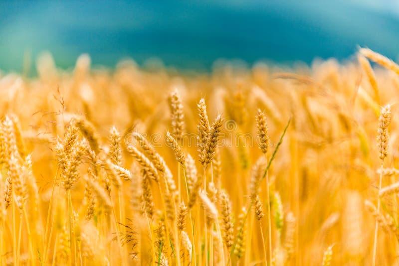 Ohren des Weizens auf Feld 2 lizenzfreie stockfotos