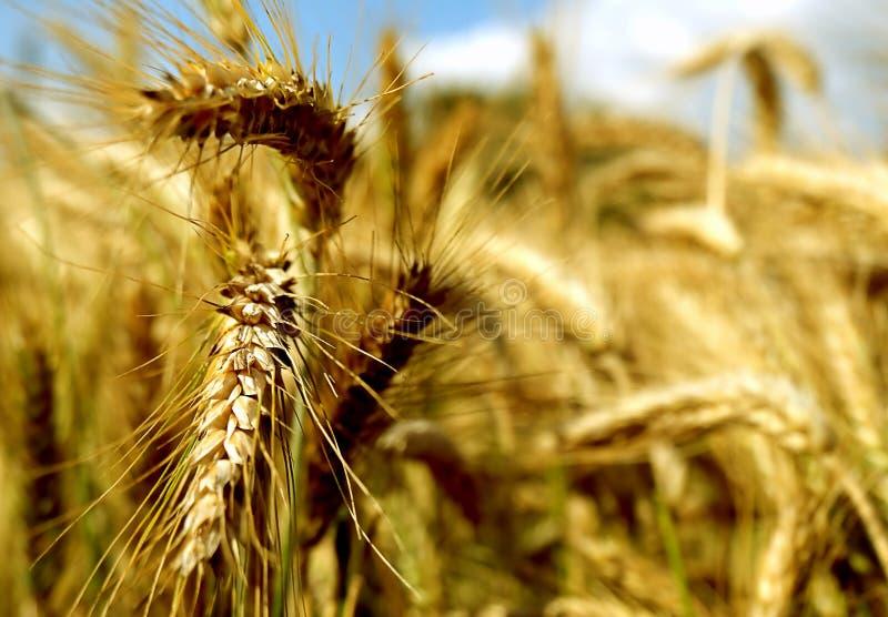 Ohren des Weizens Detail der Ohren des Weizens stockbild