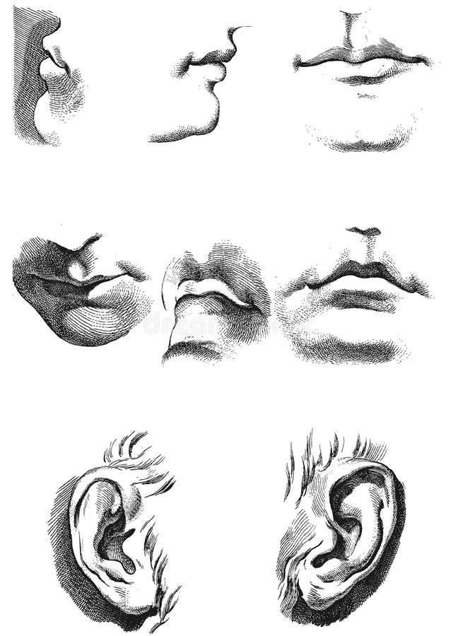 Ohren Lippen Anatomie Und Anteile Vektor Abbildung - Illustration ...