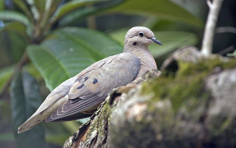 Ohrflecktaube gehockt auf Loquatbaumast lizenzfreie stockfotos