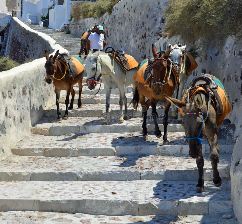Donkeys used to carry people up and down the steep path to Amoudi Bay Oia Santorini. royalty free stock photo