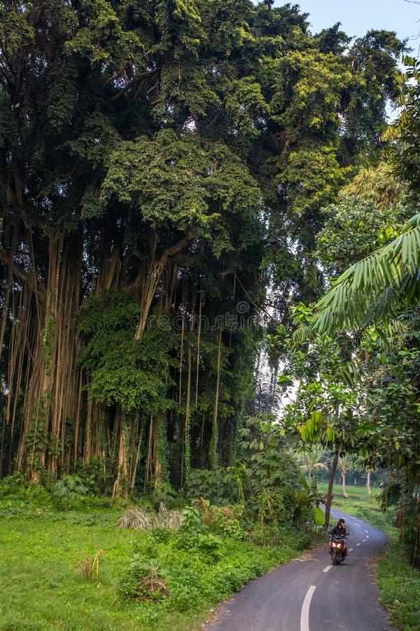 Oidentifierade balinesepojkar kör mopeden som förbigår det enorma banyanträdet arkivbild