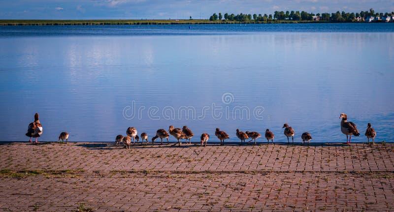 Oie ?gyptienne avec leurs jeunes en Hollande photo stock