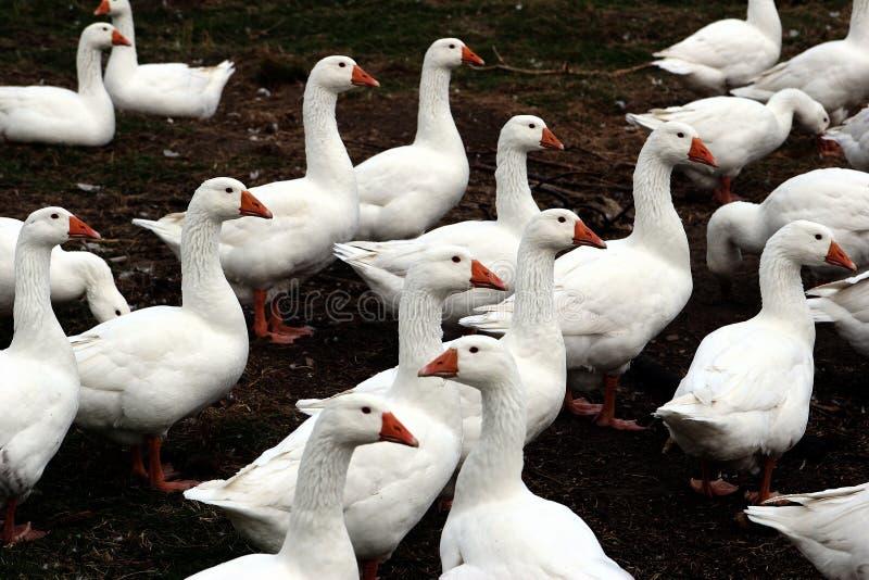 Download Oie photo stock. Image du oies, animaux, champs, pâturage - 730062