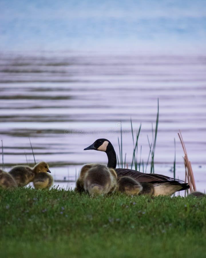 Oie adulte avec des oisons alimentant sur le rivage du Chippewa Flowage au coucher du soleil photos stock