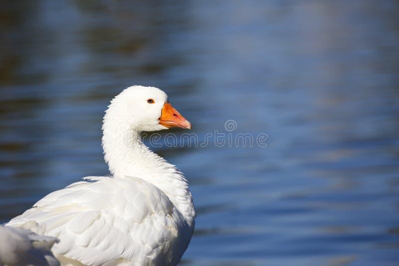 Oie blanche avec du charme avec le fond de l'eau photo libre de droits