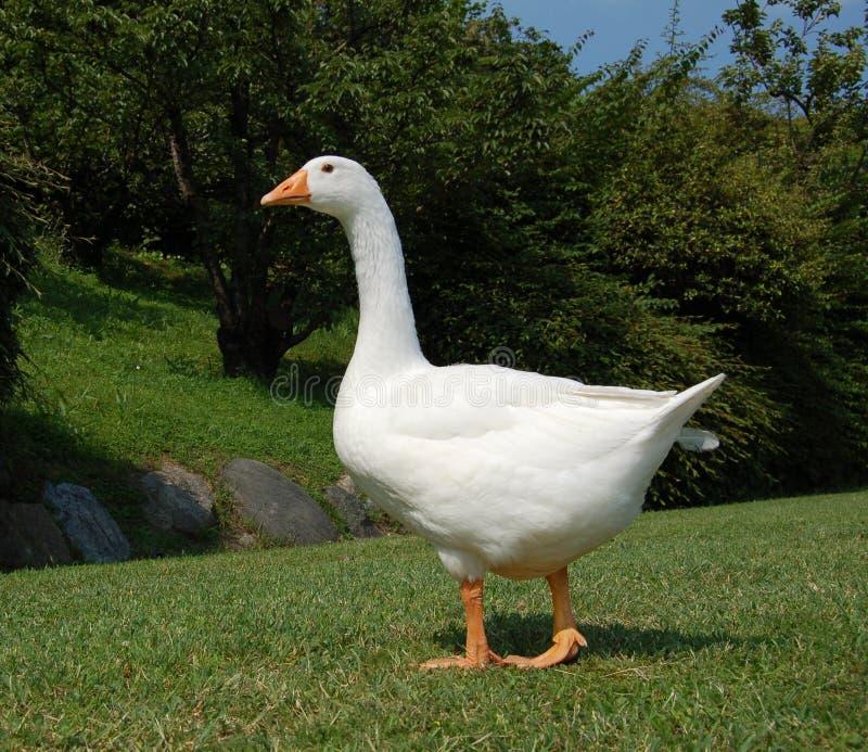 Oie blanche dans le jardin photo libre de droits