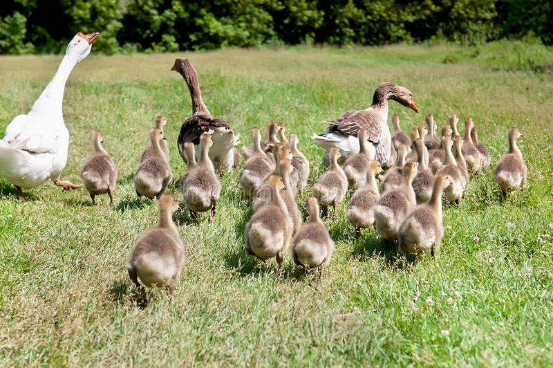 Oie blanche et deux canards de canard avec l'embrayage des canetons photographie stock