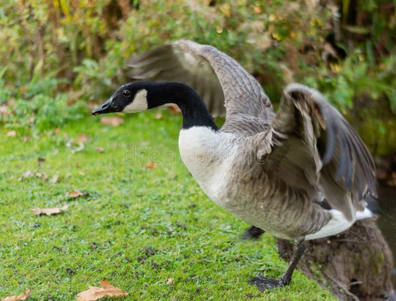 Oie canadienne avec des ailes étirées images libres de droits