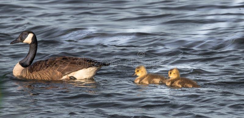 Oie canadienne avec 2 petites bosses, Branta photo libre de droits