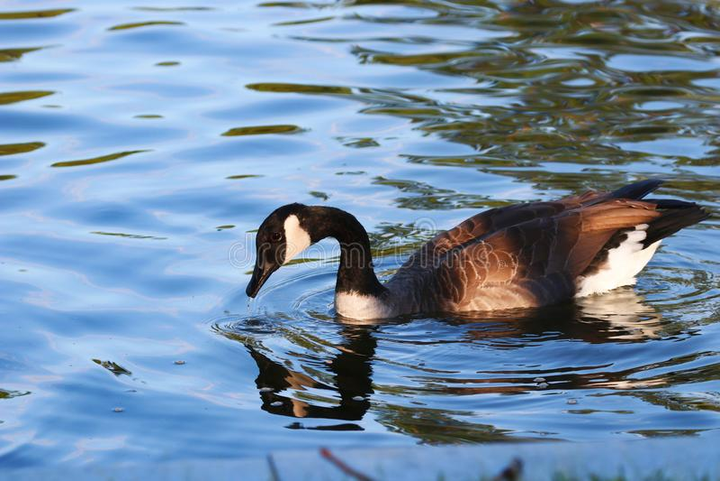 Oie canadienne dans un étang image libre de droits