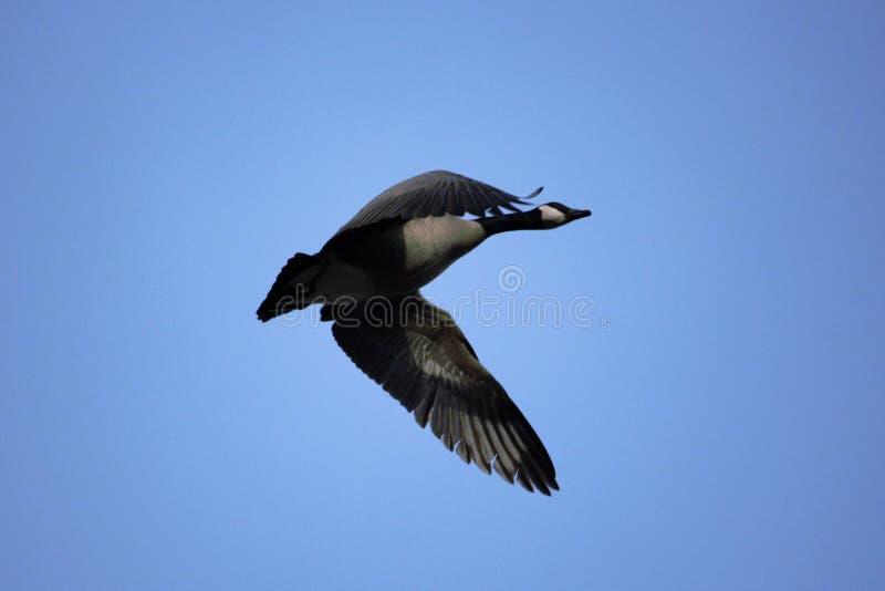 Oie canadienne en vol avec un fond flou de ciel bleu images libres de droits