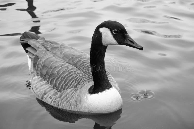 Oie canadienne - soulagement noir et blanc photo stock