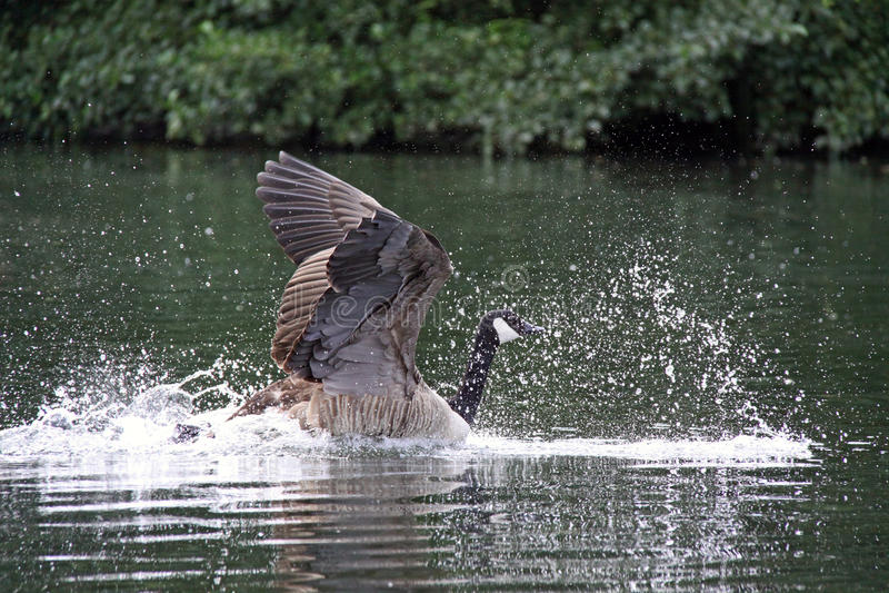 Oie canadienne sur un fleuve photographie stock