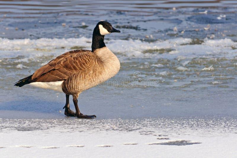 Oie canadienne sur un lac figé images libres de droits
