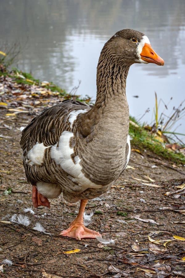 Oie cendrée à au bord du lac photo libre de droits