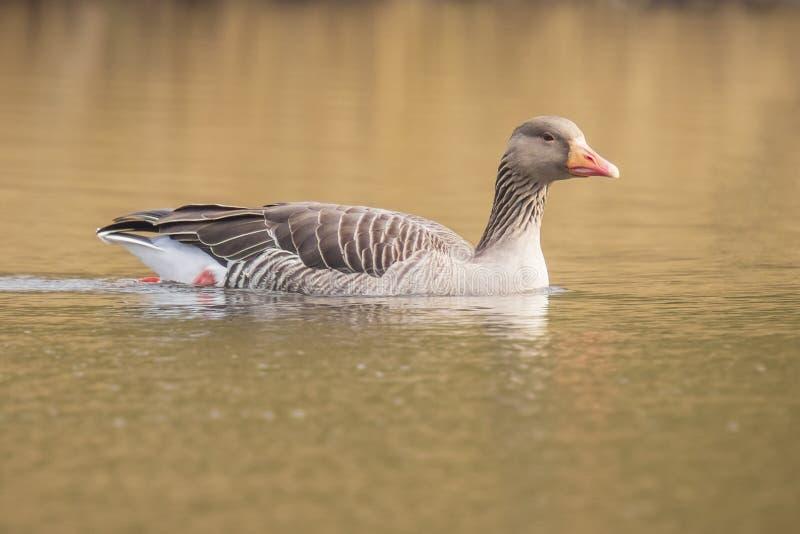 Oie cendrée, Anser d'Anser, nageant dans un lac image stock